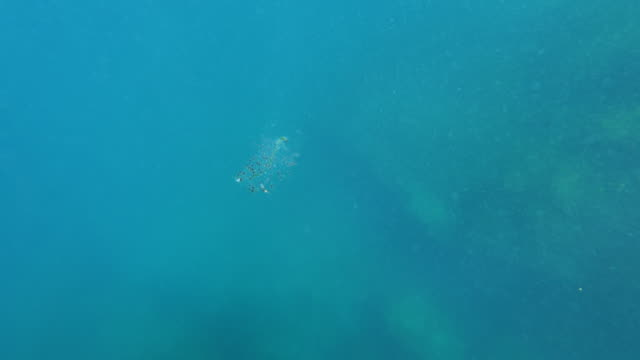 salp swimming in blue ocean, marine animal is undersea - azores, portugal - sea squirt stock videos & royalty-free footage