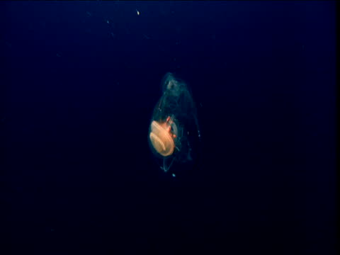salp tumbles through water - sea squirt stock videos & royalty-free footage