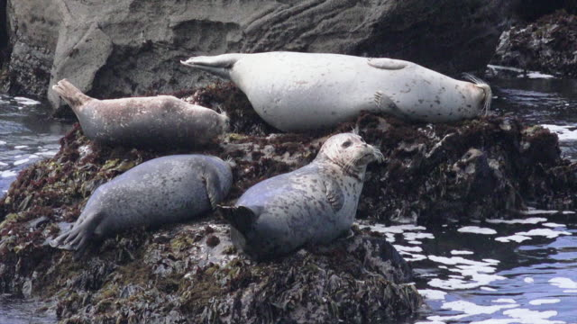salt point state park, california - harbour seal stock videos & royalty-free footage