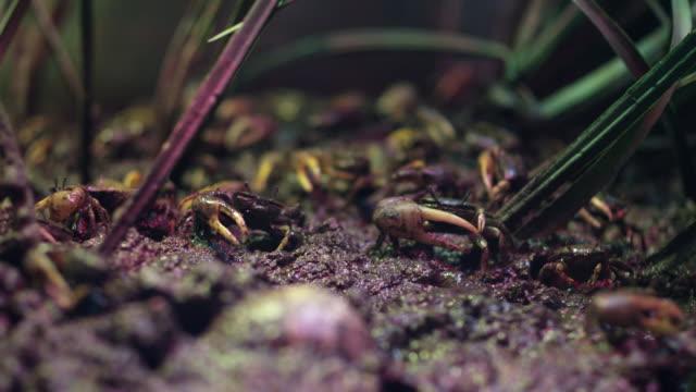 salt water crabs in grassland macro - wildlife stock videos & royalty-free footage