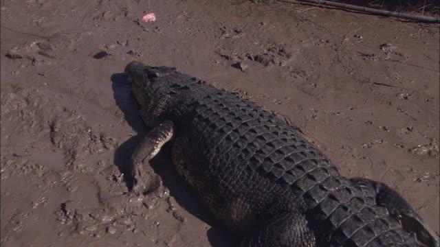 ms salt water crocodile (crocodylus porosus) walking on muddy ground, following meat on string, adelaide river, northern territory, australia - adelaide river stock videos & royalty-free footage