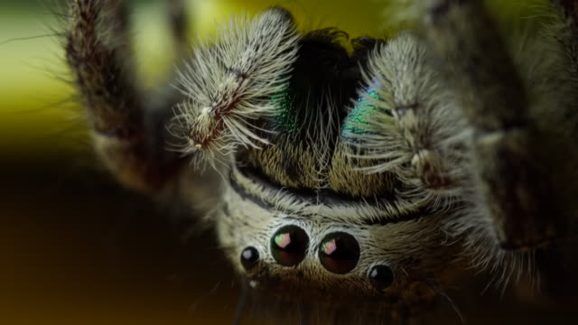 salticidae jumping spider - spider stock videos & royalty-free footage