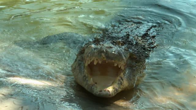 saltwater crocodile biting at fish on rope - zuschnappen stock-videos und b-roll-filmmaterial