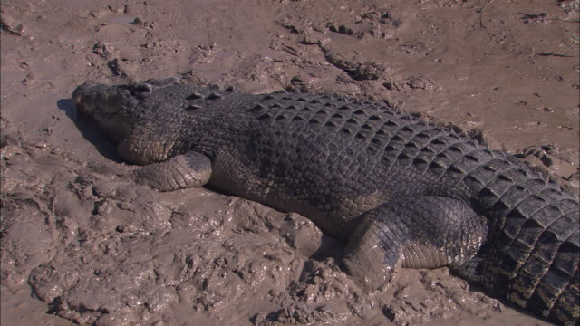 a saltwater crocodile lies in mud at the edge of the adelaide river. - adelaide river stock videos & royalty-free footage