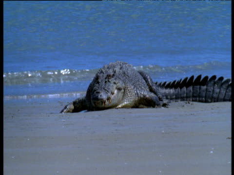 saltwater crocodile on beach in heat haze, crab island, australia - resting stock videos & royalty-free footage