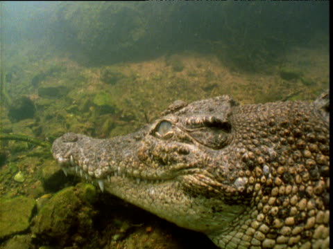 """vidéos et rushes de saltwater crocodile rests on bottom of waterhole then swims away, northern territory, australia - """"bbc natural history"""""""