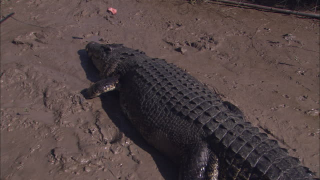 a saltwater crocodile snaps at bait on a string. - zuschnappen stock-videos und b-roll-filmmaterial