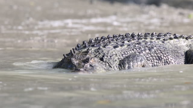 saltwater crocodile - echte krokodile stock-videos und b-roll-filmmaterial