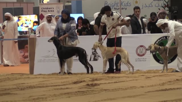 vídeos de stock, filmes e b-roll de saluki dogs walk on the sand during the beauty contest while men lead camels to be sold during auction: the abu dhabi international hunting and... - contestant