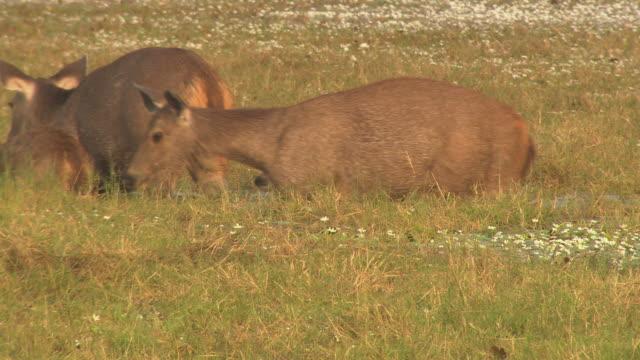 vidéos et rushes de sambar deer across in lake - mammifère ongulé