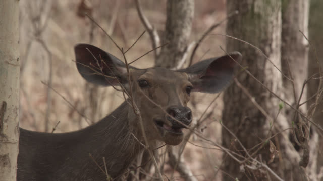 Sambar deer (Rusa unicolor) calls in forest, Bandhavgarh, India