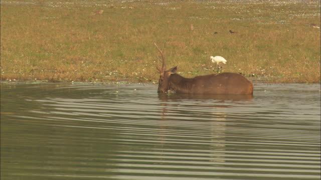 sambar deer drinking in lake water - deer stock videos & royalty-free footage