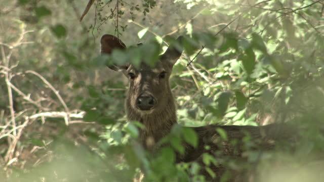 vidéos et rushes de a sambar deer eagerly looking at the camera - medium shot - medium group of animals