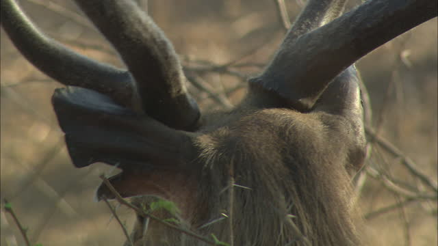 sambar deer eating dry plants, looking away - ecosystem stock videos & royalty-free footage