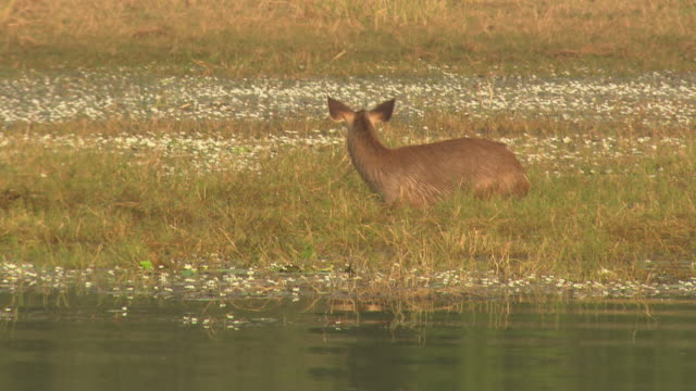 sambar deer grazing in water - grazing stock videos & royalty-free footage