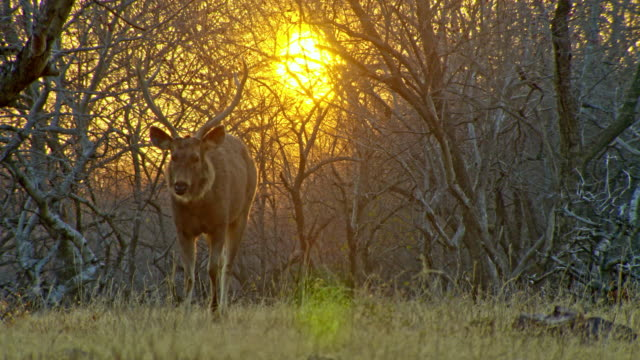 sambar deer grazing-wide shot - environmental conservation stock videos & royalty-free footage