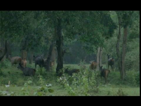 vídeos de stock, filmes e b-roll de sambar deer (cervus unicolor) herd running in forest, raining, wide angle, bandipur - manada