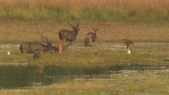 sambar deer in lake water - egret stock videos & royalty-free footage