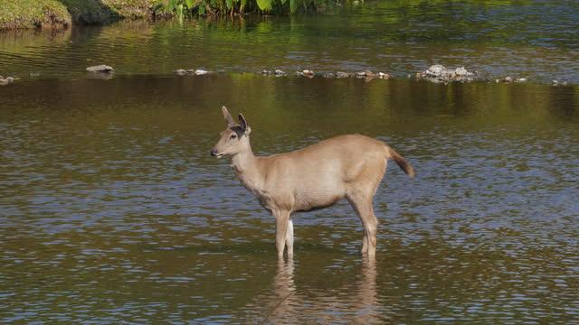 sambar deer i naturen. - djurbeteende bildbanksvideor och videomaterial från bakom kulisserna
