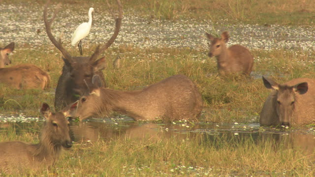 sambar deer jumping across in water - grazing stock videos & royalty-free footage