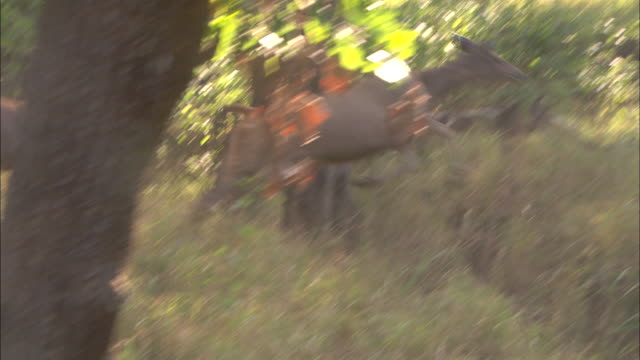 stockvideo's en b-roll-footage met sambar deer leap through a forest. - angst