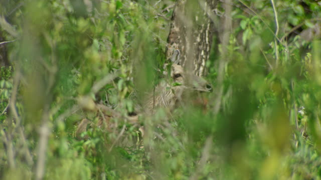 sambar deer looks around - deer stock videos & royalty-free footage