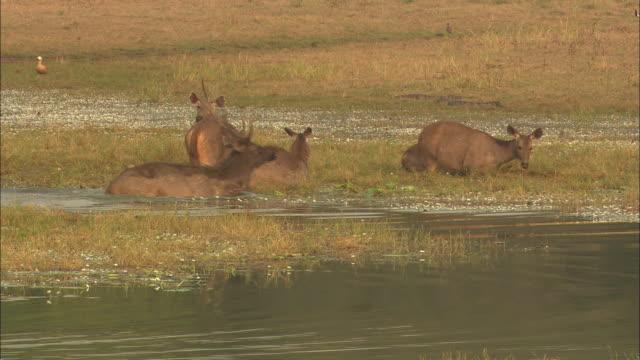 vidéos et rushes de sambar deer mating - mammifère ongulé