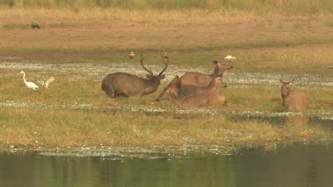 sambar deer pre-mating approach - grazing stock videos & royalty-free footage