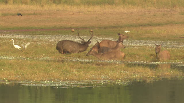sambar deer pre-mating approach - grazing stock videos & royalty-free footage