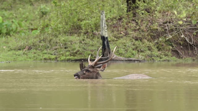 sambar deer(rusa unicolor ) swimming in the river in nature - herbivorous stock videos & royalty-free footage