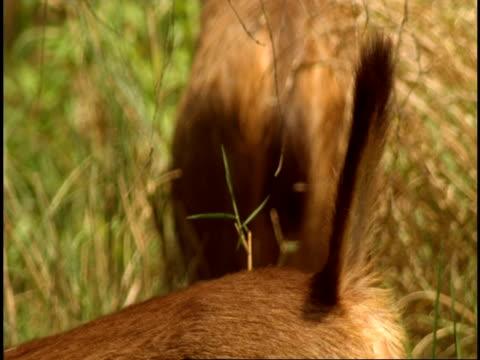 cu sambar deer (rusa unicolor) tail, erect, bandhavgarh national park, india - national icon stock videos & royalty-free footage