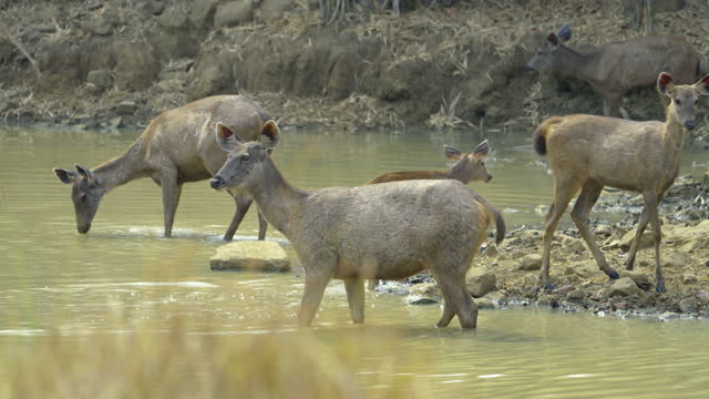 sambar deers feeding on algae from the water in slow motion - herbivorous stock videos & royalty-free footage