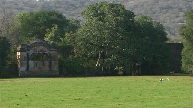 sambar deers grazing, eating wet plants near ranthambore lake fort - long shot - egret stock videos & royalty-free footage