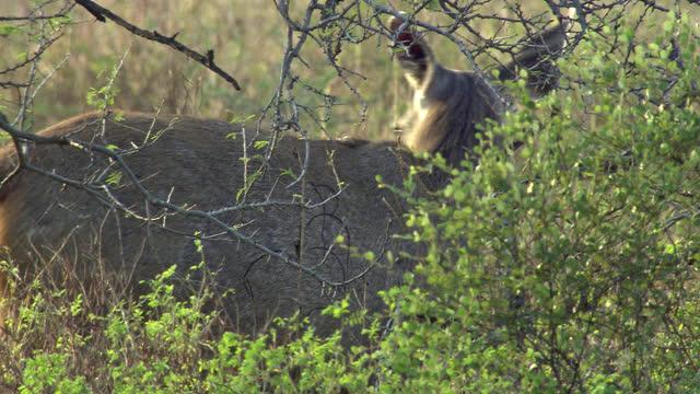 sambar deers grazing, looking around - medium shot - antelope stock videos & royalty-free footage