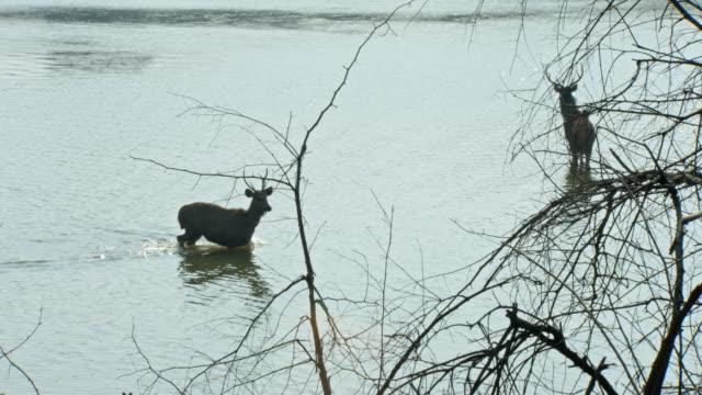 vídeos y material grabado en eventos de stock de sambar deers looking alert in wetland - comportamiento de animal