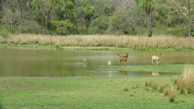 sambar deers looks the tiger - lakeshore stock videos & royalty-free footage
