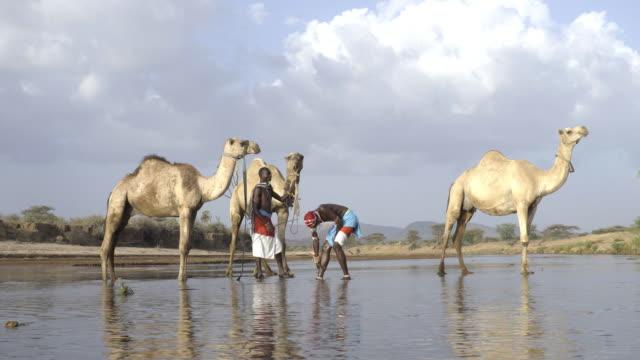 stockvideo's en b-roll-footage met samburu tribesmen with camels. samburu. kenya. africa. - bukken