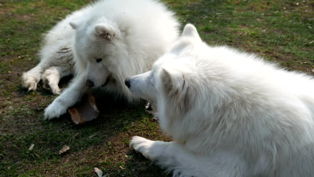 samoyed barking in play - pure bred dog stock videos and b-roll footage
