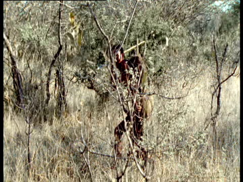San bushman brandishes spear as he approaches Kudu antelope after 8 hour