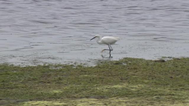 san diego, ca, u.s. - egret hunting near fiesta island beach on friday, april 3, 2020. - egret stock videos & royalty-free footage