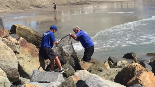 San Diego Sea World rescue squad takes an injured sea lion from the beach at Hotel del Coronado