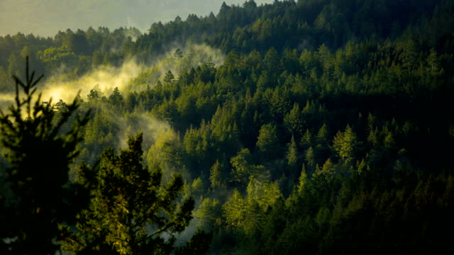 vídeos de stock, filmes e b-roll de baía de san francisco: floresta de sequóia no início da manhã - sequoia sempervirens