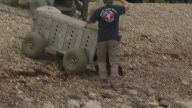 san pedro, ca, u.s. - rescued seal pup released on beach, on saturday, april 4, 2020. - seal pup stock videos & royalty-free footage