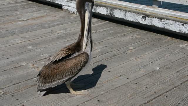 vidéos et rushes de san simeon pier young pelican preening its feathers central coast of california medium shot of a young brown pelican - se lisser les plumes