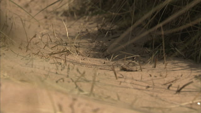 sand at bottom of dune zo ms sand path w/ marram grass both sides of dune moving in wind taller grasses no people sites of special scientific... - marram grass stock videos & royalty-free footage