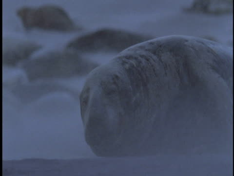 sand blows past a grey seal with its colony on the beach of sable island, canada. - 大西洋諸島点の映像素材/bロール