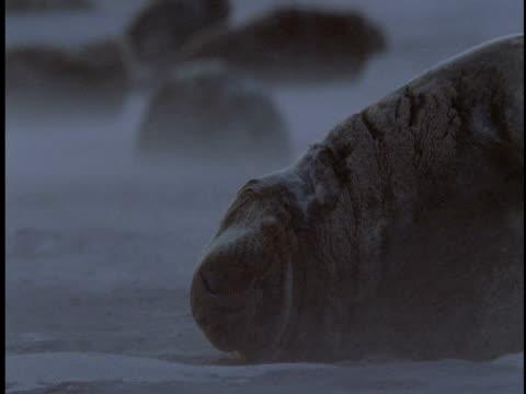 sand blows past grey seal colony on the beach of sable island, canada. - 大西洋諸島点の映像素材/bロール