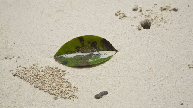 cu t/l sand bubbler crabs create sand ball patterns on the beach in langkawi island / langkawi, kedah, malaysia - crab stock videos & royalty-free footage