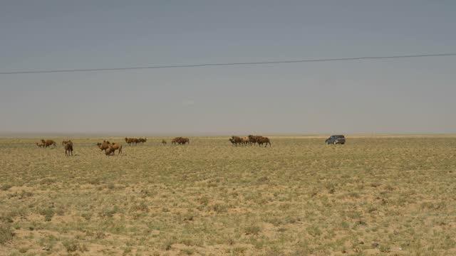stockvideo's en b-roll-footage met de kameel van het zand die door herders wordt opgeheven. - kleine groep dieren