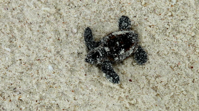 Sand covers a Hawksbill turtle hatchling as it makes its way to the ocean.